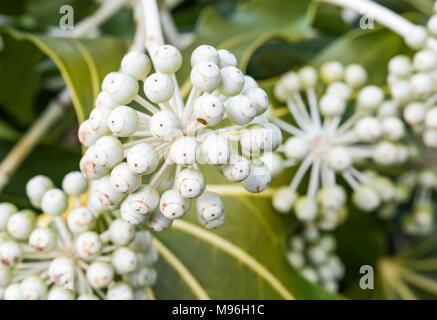 Fatsia japonica (Japanese aralia, Castor oil plant) flower heads ...