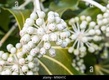 Fatsia japonica (Japanese aralia, Castor oil plant) macro closeup with white flower heads growing in late Winter in West Sussex, England, UK. - Stock Photo