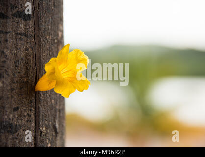 Tree of yellow bells yellow trumpet yellow elder tecoma stans yellow trumpet flower in tree trunk stock photo mightylinksfo