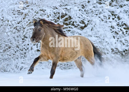 Konik pony cantering in snow - Stock Photo
