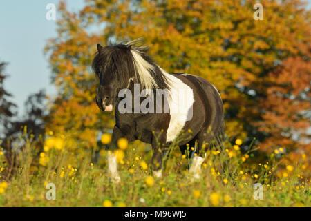 Shetland Pony im Herbst auf der Weide / Shetland pony in the field in autumn - Stock Photo