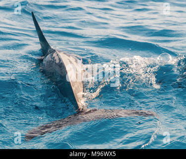 A Long Snout Spinner Dolphin swimming in the Bay of the Sataya reef, Egypt. - Stock Photo