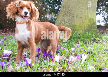 Gravesend, United Kingdom. 23rd March, 2018. A cute dog plays in pretty spring crocuses in Gravesend in Kent. The dog is an 11 month old cockapoo called Pip.  Rob Powell/Alamy Live News - Stock Photo