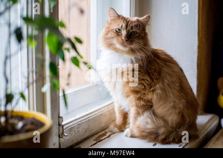 Cute funny fluffy red cat with white spots - Stock Photo