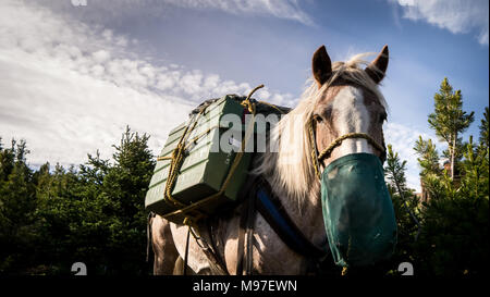 Beautiful strawberry roan pack horse with mouth bucket, close up with blue sky in background (British Columbia, Canada) - Stock Photo