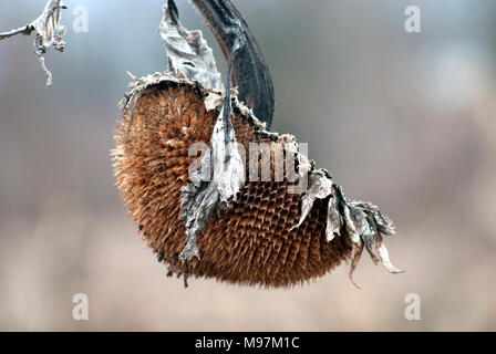 Withered sunflower head without seeds - Stock Photo