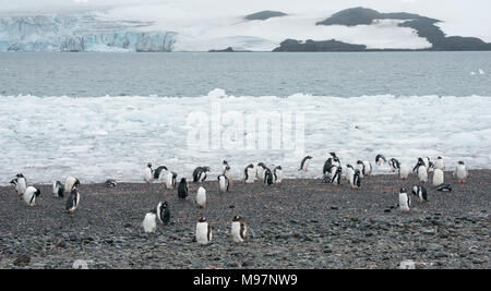 A Gentoo Penguin (Pygoscelis papua)  colony on a rocky shoreline in Antarctica - Stock Photo