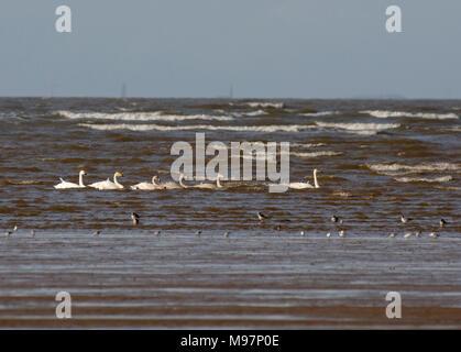 six Whooper Swans, Cygnus cygnus, in Sea in Morecambe Bay, Lancashire, UK - Stock Photo