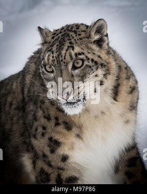 Snow Leopard Oriah  at Triple D Game Farm - Stock Photo