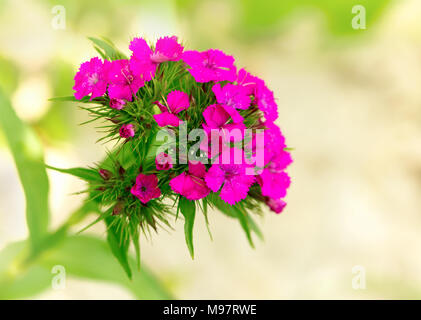 the Carnation (Pinks), macro - Stock Photo