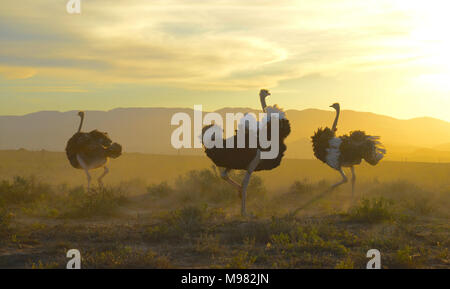 Karoo, South Africa. Struthio camelus or common ostrich - Stock Photo