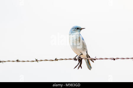 Mountain Bluebird (Sialia currucoides) on Barbed Wire Fence - Stock Photo