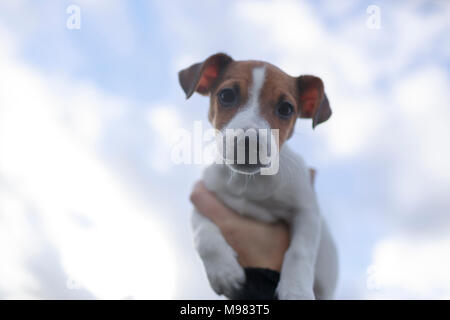 Portrait of Jack Russel Terrier puppy against sky - Stock Photo
