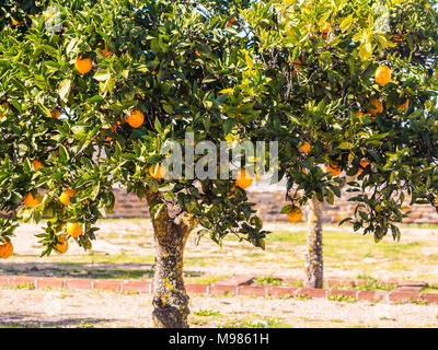 Small orange tree growing in Esporao in Alentejo region, Portugal - Stock Photo