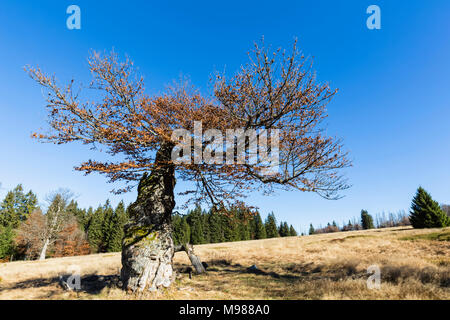 Germany, Bavaria, Lower Bavaria, Bavarian Forest National Park, Hochschachten, very old beech tree - Stock Photo