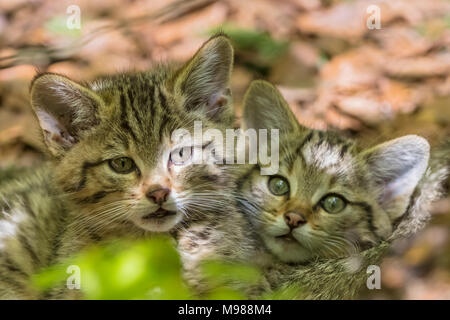 Germany, Bavarian Forest National Park, animal Open-air site Neuschoenau, wild cats, Felis silvestris, young animals - Stock Photo