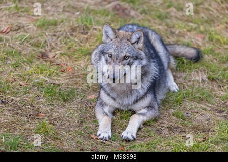 Germany, Bavarian Forest National Park, animal Open-air site Ludwigsthal, European wolf, Canis lupus - Stock Photo
