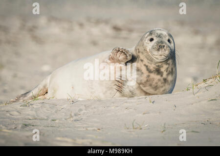 Germany, Helgoland, grey seal pup lying on the beach - Stock Photo