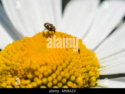 A macro shot of a varied carpet beetle feeding from an ox eye daisy. - Stock Photo