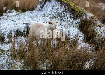 Herdwick sheep in Noth Wales in winter at sunset. The sheep have an orange tinge due to the setting sun. The sheep  are due to lamb soon. - Stock Photo
