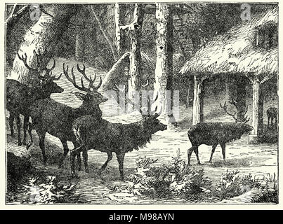 Engraving of a herd of deer in the forest, 19th Century - Stock Photo