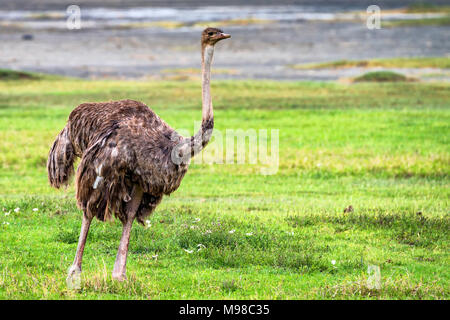 Female African ostrich in savannah - Stock Photo
