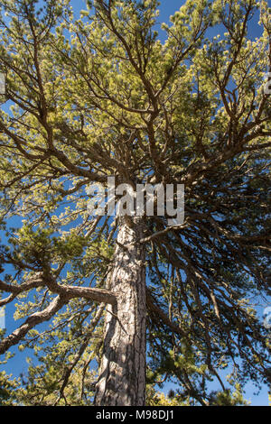 Ancient (500 years old) giant black pine in the troodos national forest park near mount olympus in spring - cyprus, mediterranean, europe - Stock Photo