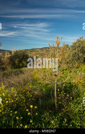 pine processionary caterpillar nest on a small pine tree in the landscape near sunset, blue sky, in paphos district, cyprus, europe - Stock Photo