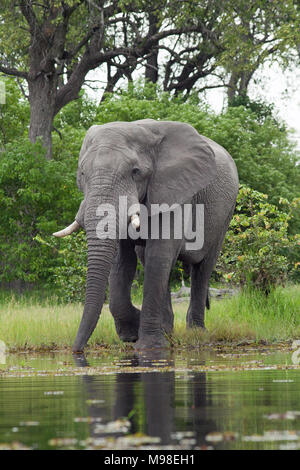 African Elephant (Loxodonta africana). Emerging from woodland, adult bull about to take a drink from river. Chobe National Park. Okavango Delta. Botsw - Stock Photo