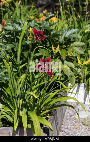 'Stellar Double Rose' Daylily, Daglilja (Hemerocallis) - Stock Photo