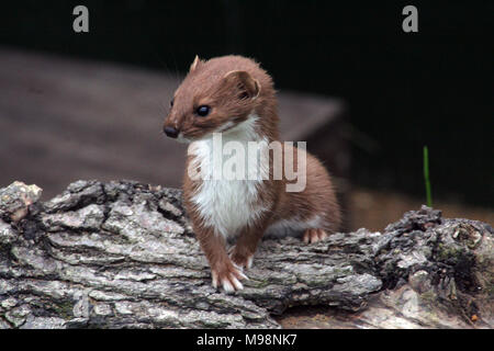 Weasels, Mustela nivalis, are related to stoats and are found across the UK, Europe& Asia. A ferocious hunter it is known folklore from England to Jap - Stock Photo