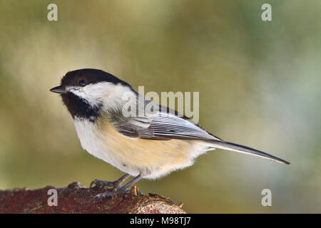 A  side view image of a black-capped chickadee bird ( Parus gambeli); perched on a tree branch in rural Alberta Canada. - Stock Photo