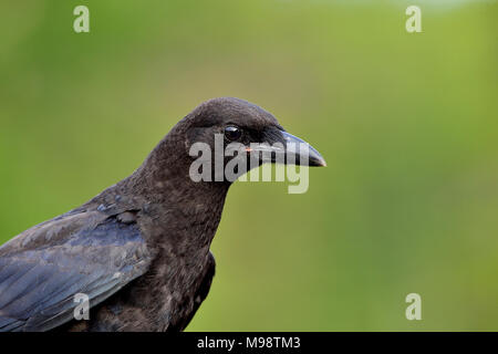 A side view portrait image of a young adult common crow (Corvus brachyrhynchos), on a green natural background in rural Alberta Canada. - Stock Photo