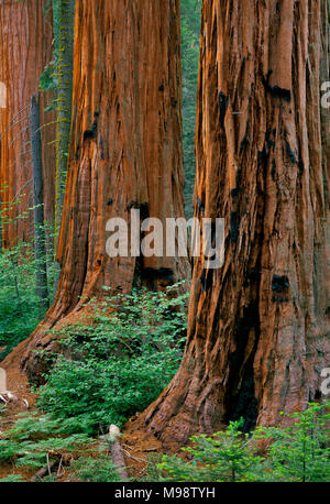 Giant Sequoia, Sequoiadendron giganteum, Redwood Canyon, Kings Canyon National Park, California - Stock Photo