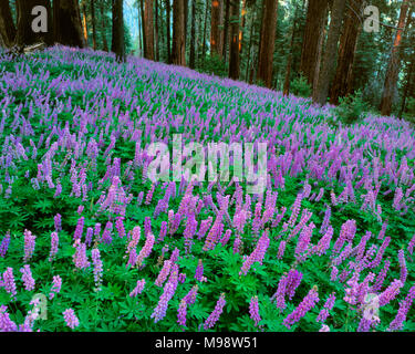 Blue Lupine, Lupinus angustifolius, Redwood Mountain, Kings Canyon National Park, California - Stock Photo