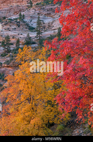 Bigtooth Maple, Acer grandidentatum, Echo Canyon, Zion National Park, Utah - Stock Photo