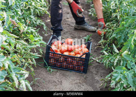 young male farmer picking up fresh tomatoes at plantation - Stock Photo