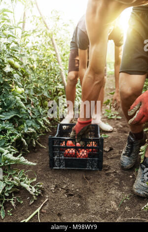young male farmer picking up fresh tomatoes at plantation and pushing the harvesting box - Stock Photo