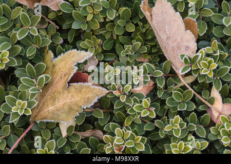 leaves on a evergreen bush edged with frost on a cold winter morning horizontal view - Stock Photo