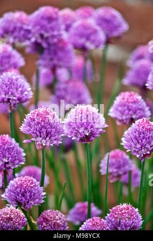 Purple Chives flowering in summer garden at Wroxeter, Shrewsbury, Shropshire, England in summertime - Stock Photo