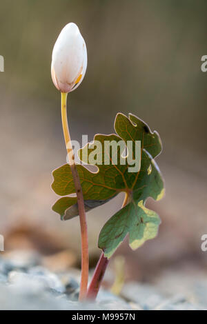 Bloodroot (Sanguinaria canadensis) - Holmes Educational State Forest, Hendersonville, North Carolina, USA - Stock Photo