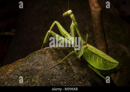 A huge female leaf mantis, a Pseudoxyops species, from Peru.  Normally it is well concealed among the leaves but it has crawled out on a rock. - Stock Photo