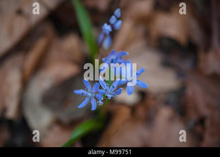 Top view of pretty spring tiny blue wild flowers appearing through old leaves on forest floor - Alpine Squill (Scilla bifolia) - Stock Photo