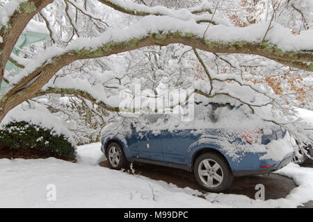 Heavy snow laden dogwood tree branches lie heavily on a car roof damaging it in wintertime - Stock Photo
