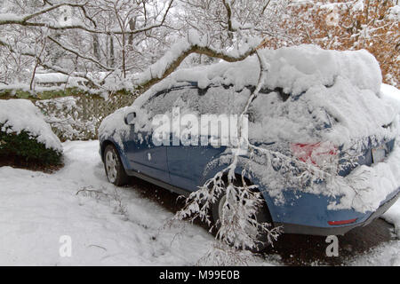 Heavy snow laden dogwood tree branches fall heavily on a car roof damaging it in wintertime - Stock Photo