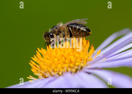 Image of bee or honeybee on violet flower collects nectar. Close-up. Insect - Stock Photo