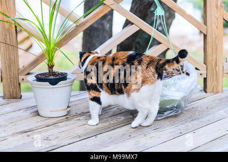 Calico cat back walking on wooden deck looking outside on terrace, patio, outdoor garden house on floor, sunny day, plants Stock Photo