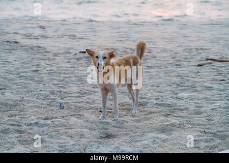Dogs on beach  Asia india - Stock Photo