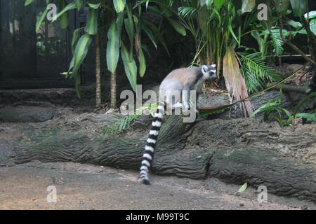 walking lemur isolated on ground Singapore zoo - Stock Photo