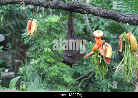 Fruitbat hanging upside down on a piece of wood on green Background - Stock Photo